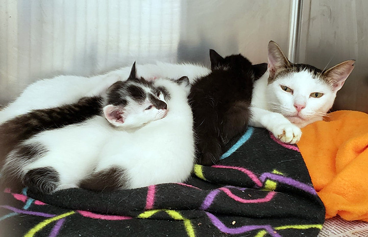 A mama cat lying in a kennel on blankets with three kittens