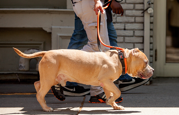 Megatron, an older tan and white pit-bull-type dog with cropped ears, being walked on a leash