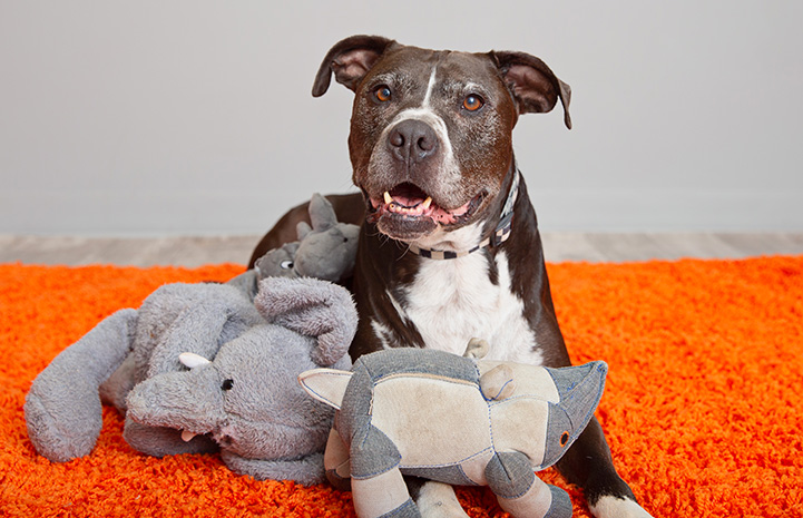 Senior dog Adonis lying on an orange carpet with some plush toys