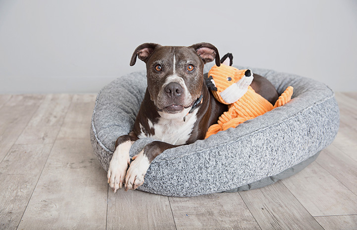 Adonis the dog lying in a gray dog bed with a plush fox toy