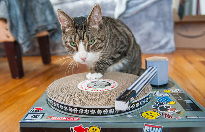 Olympia the cat with a record player scratch toy