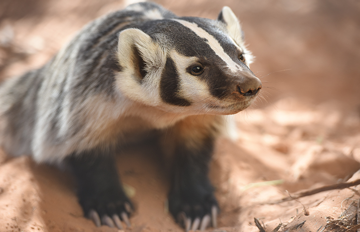 Though animals being rehabilitated at Wild Friends aren't typically named, Rosie the badger was an exception
