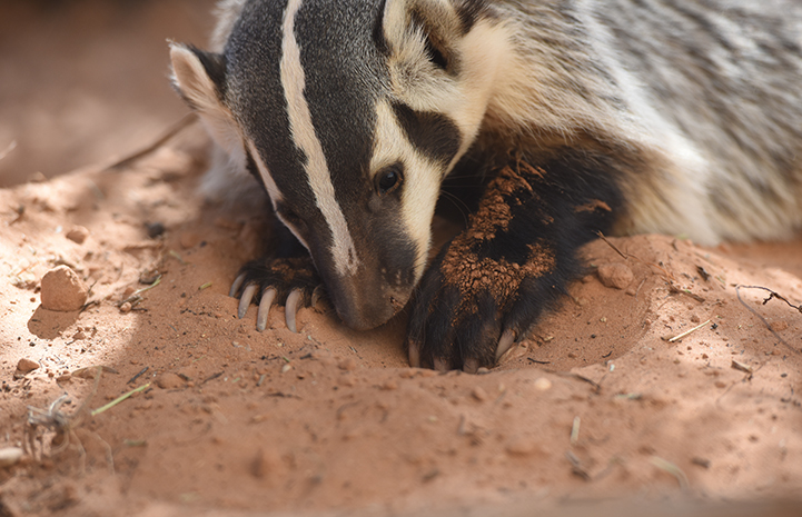 Soon, Rosie grew the giant claws badgers are known for and her weight increased to about 15 pounds