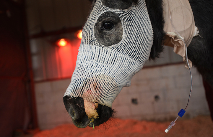 Orphaned foal Bug with bandages over her facial injuries