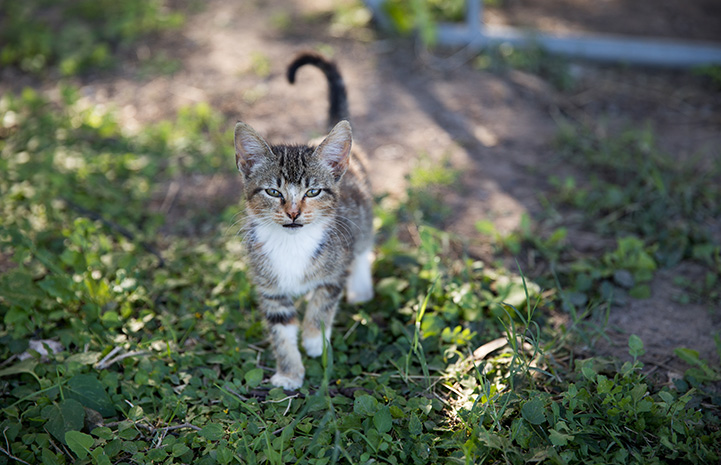 Tabby and white community cat standing on some grass with tail up on the air