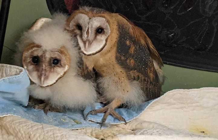 Mother owl protecting baby owl