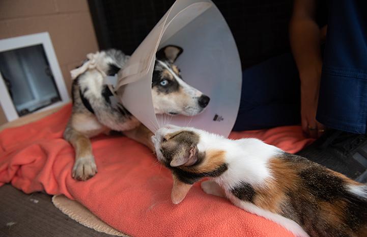 Jade the cat biting at Petaluma the dog's protective plastic cone
