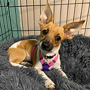 Adopt Pam the dog available for adoption from Chicago