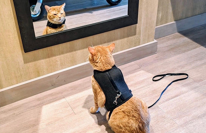 Steak the orange tabby cat wearing a harness and leash, looking at the reflection of himself in a mirror