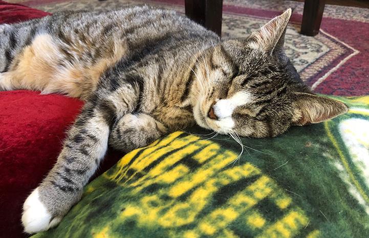 Fizzgig the cat sleeping on a blanket