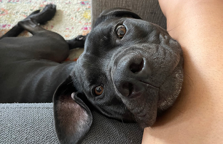 Gus the dog looking up with head leaning on person's arm