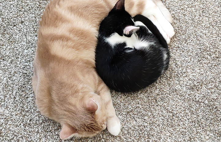Peach the cat sleeping next to small black and white kitten