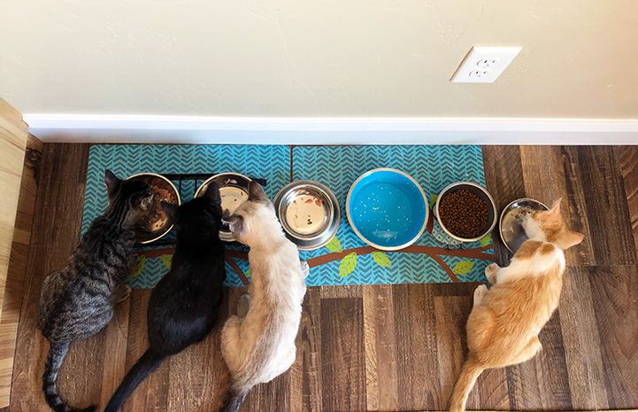 The four foster kittens all lined up eating together