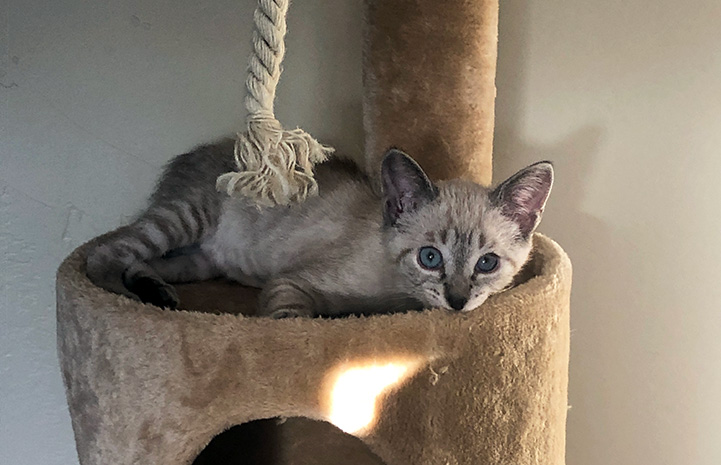 Kyusu the foster kitten with blue eyes lying on a cat tree