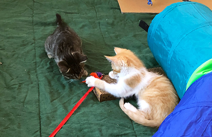 Picasso and Unstoppable the kittens playing together on the couch
