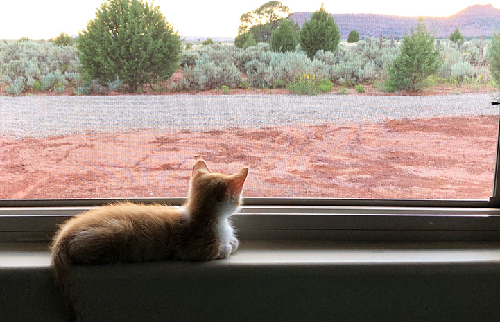 Picasso the foster kitten looking out the window