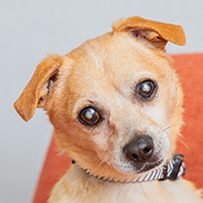 Adopt Pappy the dog available for adoption from Los Angeles
