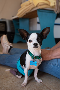 Black and white Chihuahua Robert Johnson sitting next to a person