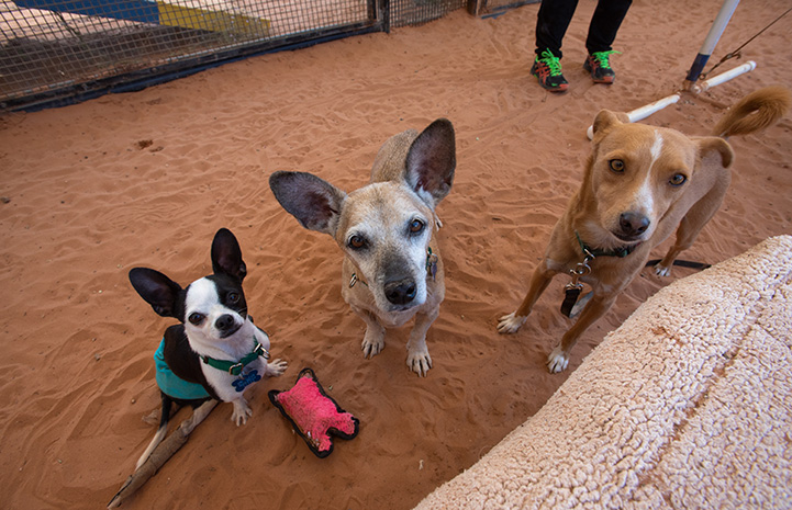 Robert Johnson the Chihuahua next to two other dogs
