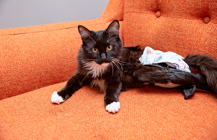 Hot Wheels the cat wearing a diaper and lying on an orange chair
