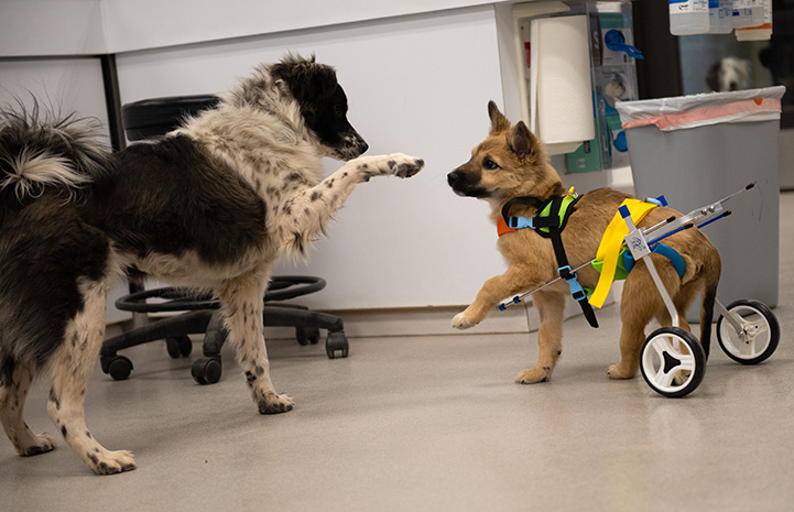 Spearmint Sally the puppy in her wheelchair, playing with another dog