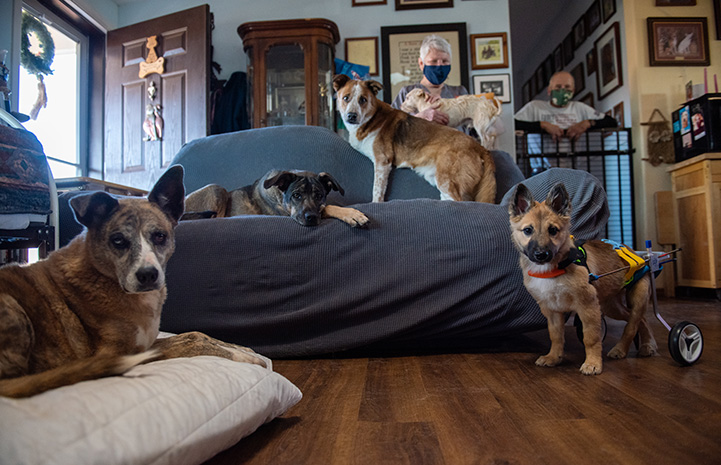Spearmint Sally the puppy in her wheelchair posing with her foster family, including four other dogs