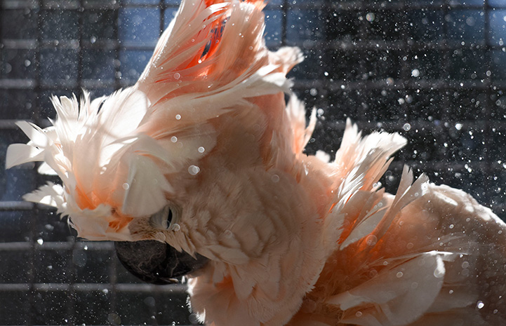 Mango a pink colored cockatoo taking a shower with water droplets surrounding him