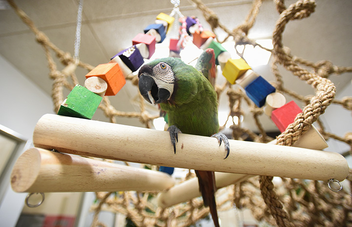 Templeton, a green parrot on a wooden rod as part of a rope and toy playground
