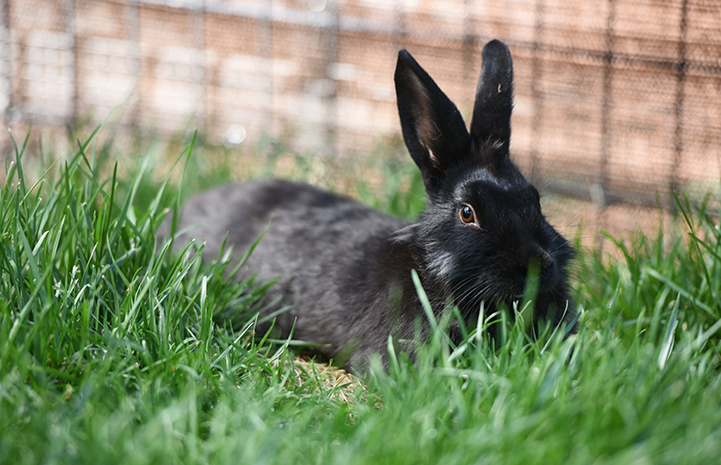 Coop the black rabbit lying in the grass in an outside pen