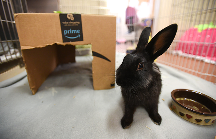 Black rabbit Coop in a pen with a cardboard box behind him