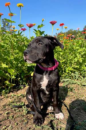 Black and white puppy, sitting outside, with flowers in the background