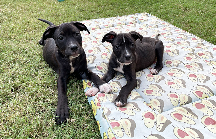 Two black and white puppies outside, one on a blanket, with their front paws touching