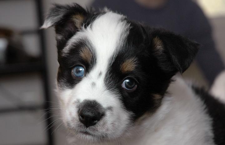 Amber had parvovirus, and every single one of her newborn puppies, including Kunzite, had been exposed to parvo disease