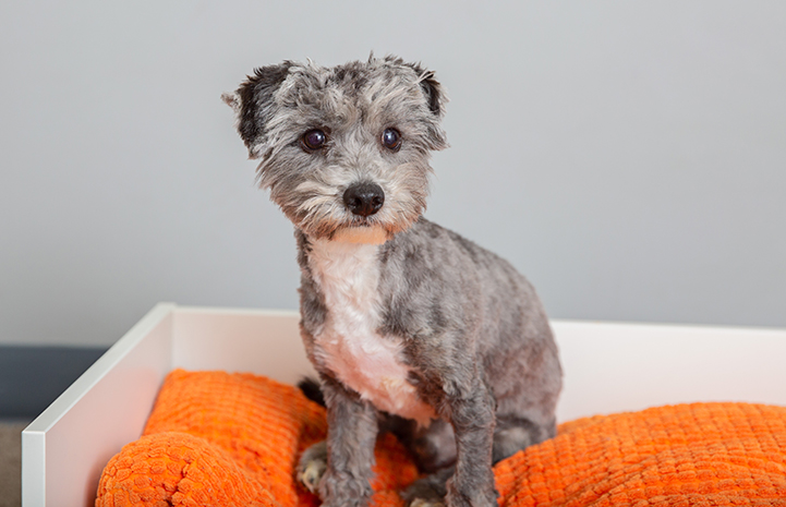 Lil John, a gray and white fluffy puppy on an orange cushion