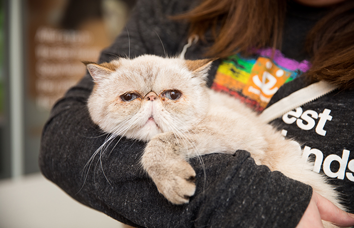 Persian cat Posh Spice being held by a person wearing a rainbow colored Best Friends Animal Society shirt