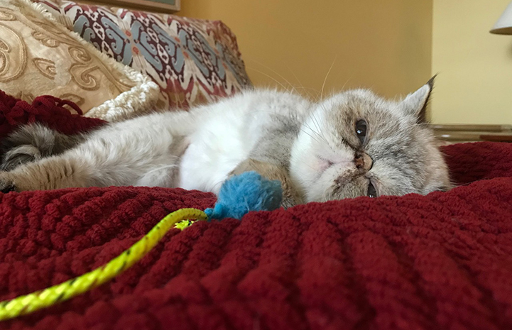 Posh Spice the Persian cat lying on a bed in her new home while holding onto a toy