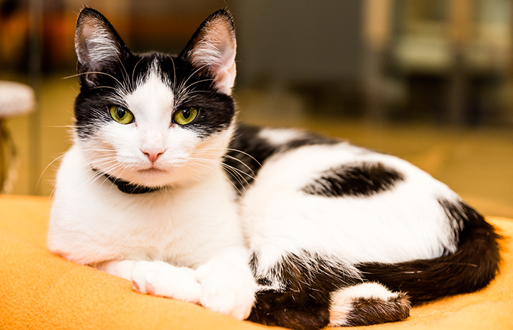 Lil Bit, a black and white cat wearing a collar, lying down and looking at the camera