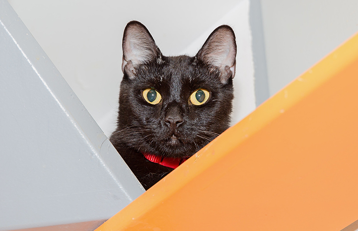Black cat wearing a red collar peeking out from behind two boards