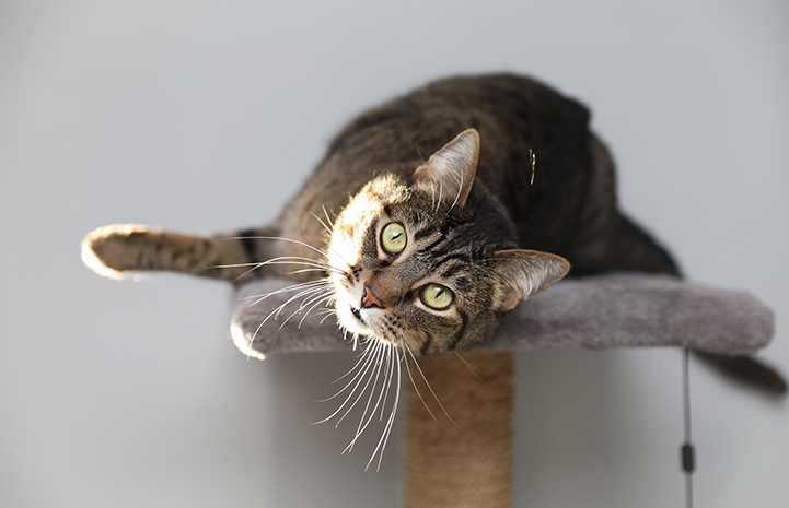 Brown tabby in a sunbeam, lying down on the top of a cat tree