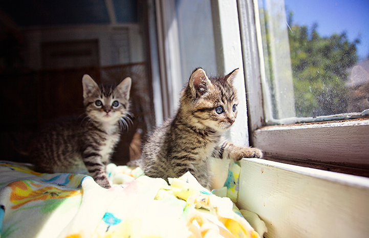 Two kittens looking out of a window