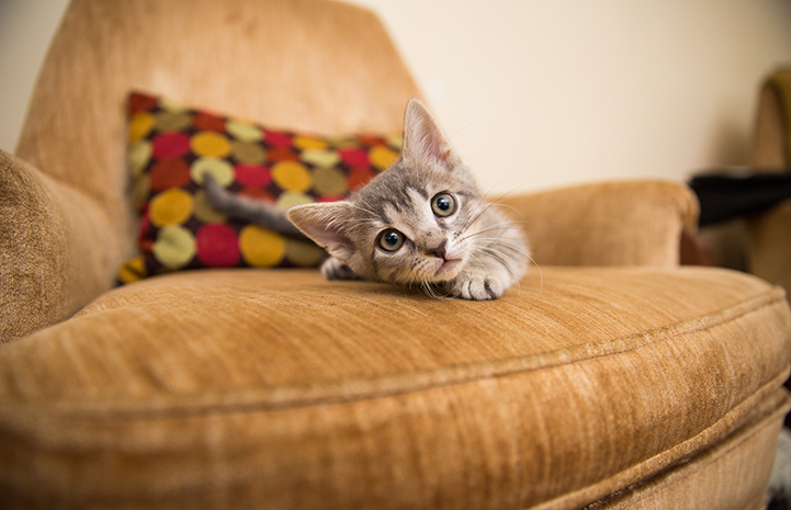 Gray tabby kitten lying down on a tan chair with a pillow behind him