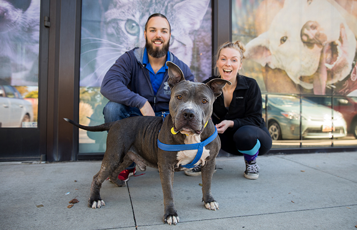 Gray and white pit bull terrier dog with perky ears with his foster parents behind him