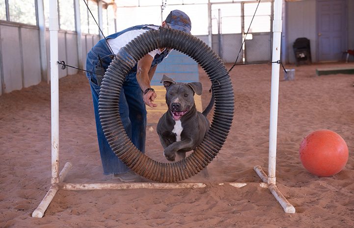 Bosco the dog jumping through a hoop in an agility course with a person standing behind him