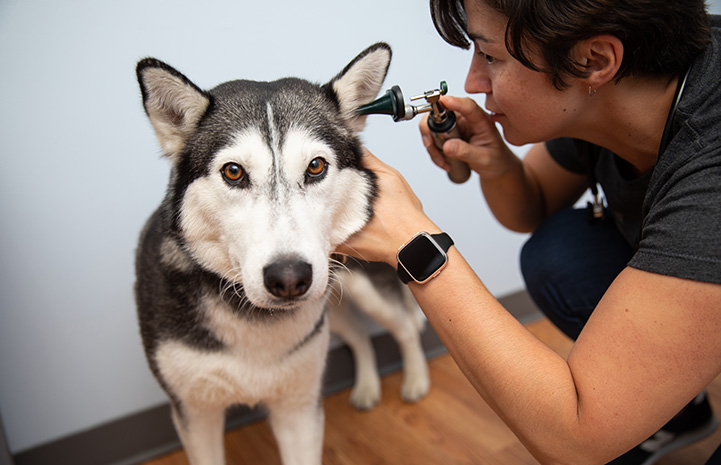 Vet or vet tech looking into the ear of a husky-type dog during an exam