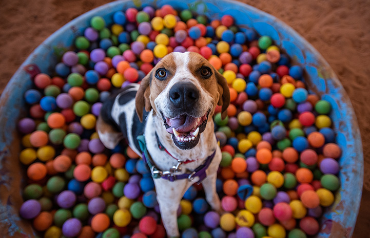 Stax the dog in a kiddie pool filled with multi-colored balls