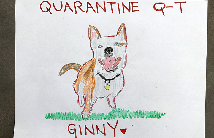 Drawing of a smiling pit bull type dog with the words, Quarantine Q-T Ginny