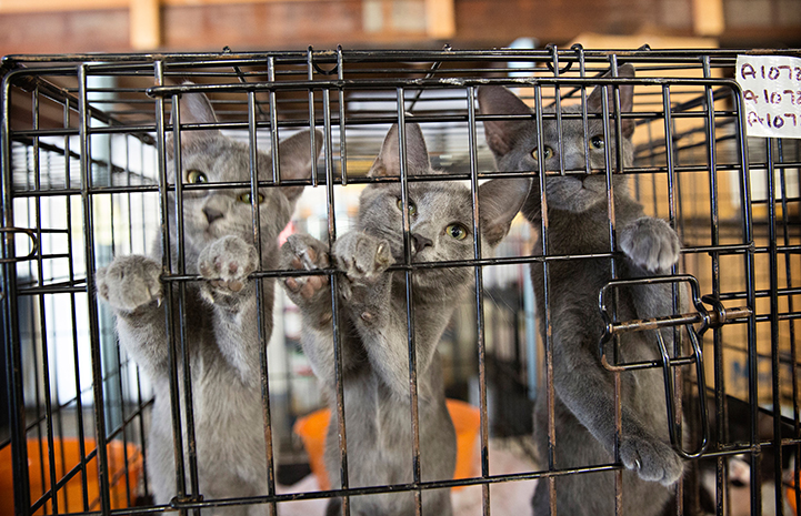 Three gray kittens in a kennel as part of a transport from Atlanta