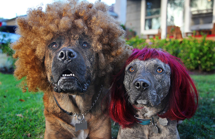 Two dogs wearing wigs