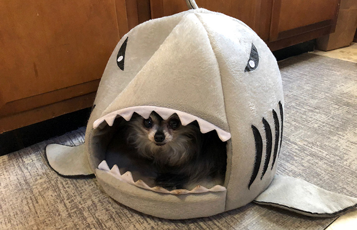 Small dog in a shark bed