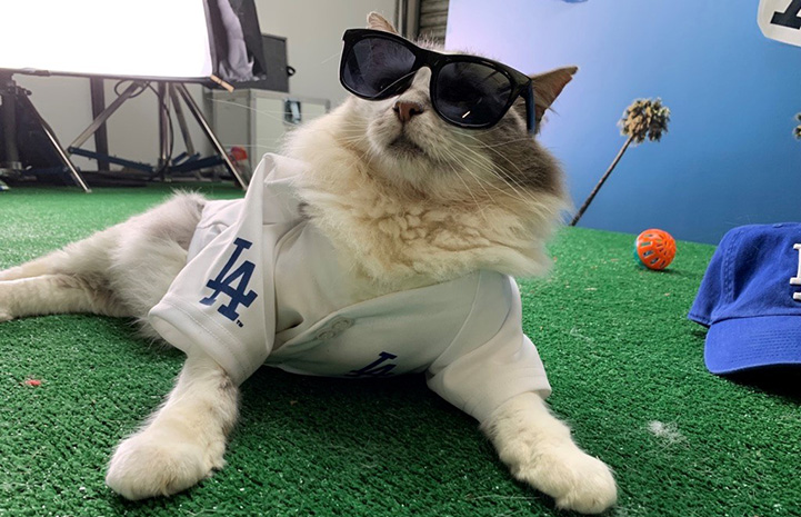 Cat wearing a L.A. Dodgers shirt and sunglasses